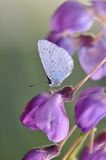 Wisteria flower with butterfly. Macro detail of Royal Blue Butterfly on wisteria flower stock photography