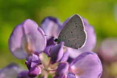 Wisteria flower with butterfly. Macro detail of Royal Blue Butterfly on wisteria flower royalty free stock photo