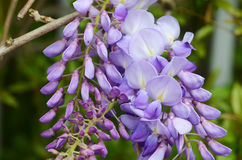 Wisteria flower Royalty Free Stock Photos