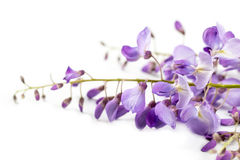 Wisteria flower Stock Image