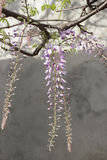 Wisteria flowering Royalty Free Stock Photo