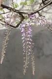 Wisteria flowering Royalty Free Stock Photo