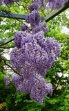 Wisteria flowering plant. Purple flowering Wisteria plant against a background of green leaves stock photos