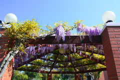 Wisteria flowers Royalty Free Stock Images