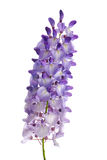 Wisteria flowers Stock Photography