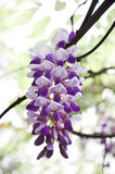 Wisteria flowers Royalty Free Stock Image