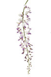 Wisteria flowers against white royalty free stock photos