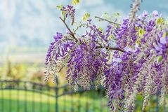 Wisteria flowers. Wisteria also spelled Wistaria or Wysteria is a genus of flowering plants in the legume family, Fabaceae Legu. Minosae Royalty Free Stock Photography