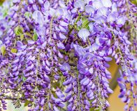 Wisteria flowers. Wisteria also spelled Wistaria or Wysteria is a genus of flowering plants in the legume family, Fabaceae Legu. Minosae Royalty Free Stock Image