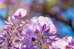 Wisteria flowers. Wisteria also spelled Wistaria or Wysteria is a genus of flowering plants in the legume family, Fabaceae Legu. Minosae Stock Image