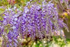 Wisteria flowers. Wisteria also spelled Wistaria or Wysteria is a genus of flowering plants in the legume family, Fabaceae Legu. Minosae Stock Photos