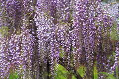 Purple Wisteria Flowers Royalty Free Stock Image