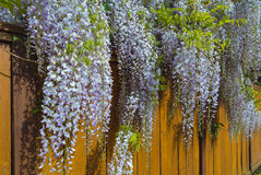 Wisteria Flowers Blooming over Wood Fence in Springtime Stock Photography