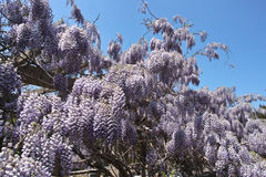 Wisteria flowers Royalty Free Stock Photo