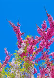 Wisteria flowers on a clear day Royalty Free Stock Image