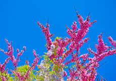 Wisteria flowers on a clear day Royalty Free Stock Images