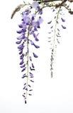 Wisteria flowers,