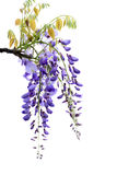 Wisteria flowers, Royalty Free Stock Photography