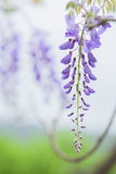 Wisteria flowers, Royalty Free Stock Images