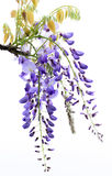 Wisteria flowers, Stock Photography