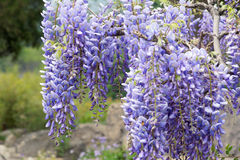 Wisteria flowers Royalty Free Stock Photography