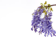 Wisteria flowers floral design element. Royalty Free Stock Photo