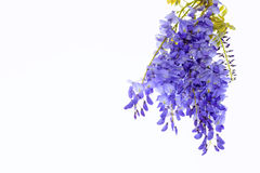 Wisteria flowers floral design element. royalty free stock images
