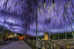 Wisteria flowers in spring royalty free stock photo