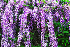 Wisteria flowers Stock Images