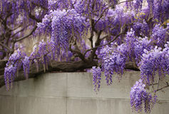 Wisteria flowers hanging Stock Images