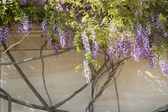 Wisteria flowers hanging Stock Photos