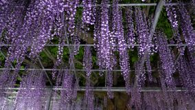 Japan wisteria flowers in spring stock video