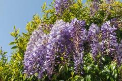Wisteria flowers royalty free stock photos