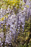 Wisteria flowers Stock Photo