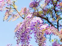 Wisteria flowers. Wisteria also spelled Wistaria or Wysteria is a genus of flowering plants in the legume family, Fabaceae Legu. Minosae Royalty Free Stock Images