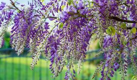 Wisteria flowers. Wisteria also spelled Wistaria or Wysteria is a genus of flowering plants in the legume family, Fabaceae Legu. Minosae Stock Photography