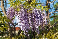 Wisteria flowers. With blue sky background Royalty Free Stock Images