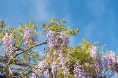 Wisteria flowers. With blue sky background Royalty Free Stock Image