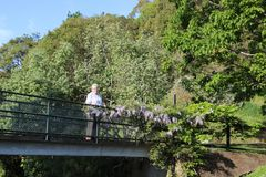 Wisteria on footbridge, Dunedin Botanic Garden NZ Royalty Free Stock Images