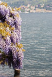Wisteria in front of the lake. The traditional forniture and decor of a plant of wisteria close the river of the lake in Bellagio, Italy royalty free stock images