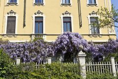 Wisteria in full bloom on a house wall in Milan, Italy. Wisteria Vine may take several years for one of these plants to blossom stock image