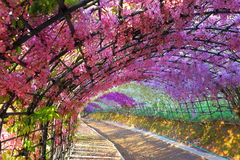 Wisteria of garden stock images