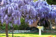 Wisteria Garden in Spring royalty free stock photography