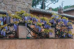 Wisteria hanging on a metal railing stock photos