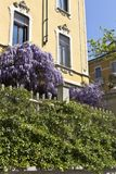 Wisteria on a house facade and green plant. Spring day in Milan - Italy. Wisteria Vine may take several years for one of these plants to blossom stock photos