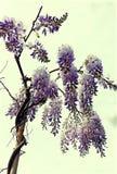 Wisteria i blom Arkivfoto