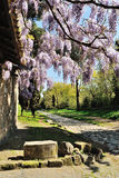 Wisteria i den Appia Antica gatan Royaltyfri Foto