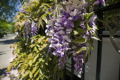 Wisteria in Massachusetts. Wisteria on a wall in Edgartown Massachusetts, Martha's Vineyard Royalty Free Stock Images