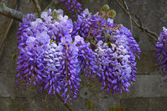 Wisteria at Mottisfont Abbey, Hampshire, England. Royalty Free Stock Images