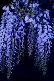 Wisteria at Night. Branch of Wisteria at night Stock Photo